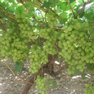 Avniv expect exceptional grapes