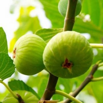 Israeli figs now available